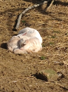Lucky for the study abroad thing, but also because I saw this sleepy baby goats in real life and now I'm forever changed.