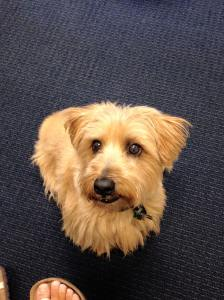Brody, the Norfolk Terrier, sitting in the Admissions Office.
